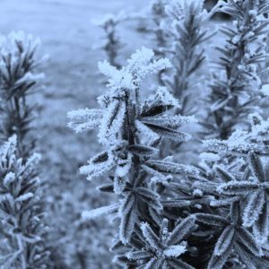 Frosty Plant | Visit Oberon